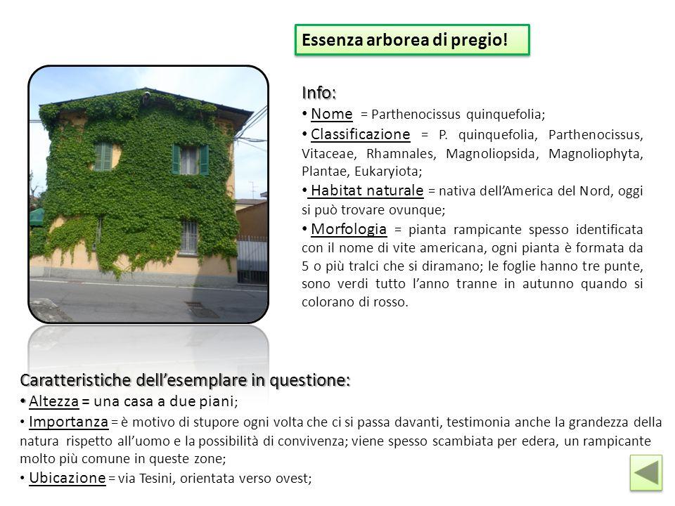 Essenza arborea di pregio! Info: Nome = Parthenocissus quinquefolia; Classificazione = P. quinquefolia, Parthenocissus, Vitaceae, Rhamnales, Magnoliop
