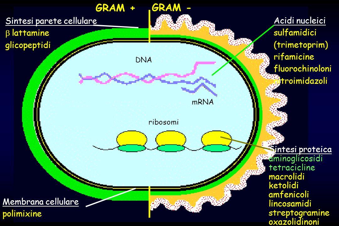 50 30 DNA mRNA ribosomi Sintesi parete cellulare lattamine glicopeptidi GRAM + GRAM - Membrana cellulare polimixine Acidi nucleici sulfamidici (trimetoprim) rifamicine fluorochinoloni nitroimidazoli Sintesi proteica aminoglicosidi tetracicline macrolidi ketolidi amfenicoli lincosamidi streptogramine oxazolidinoni