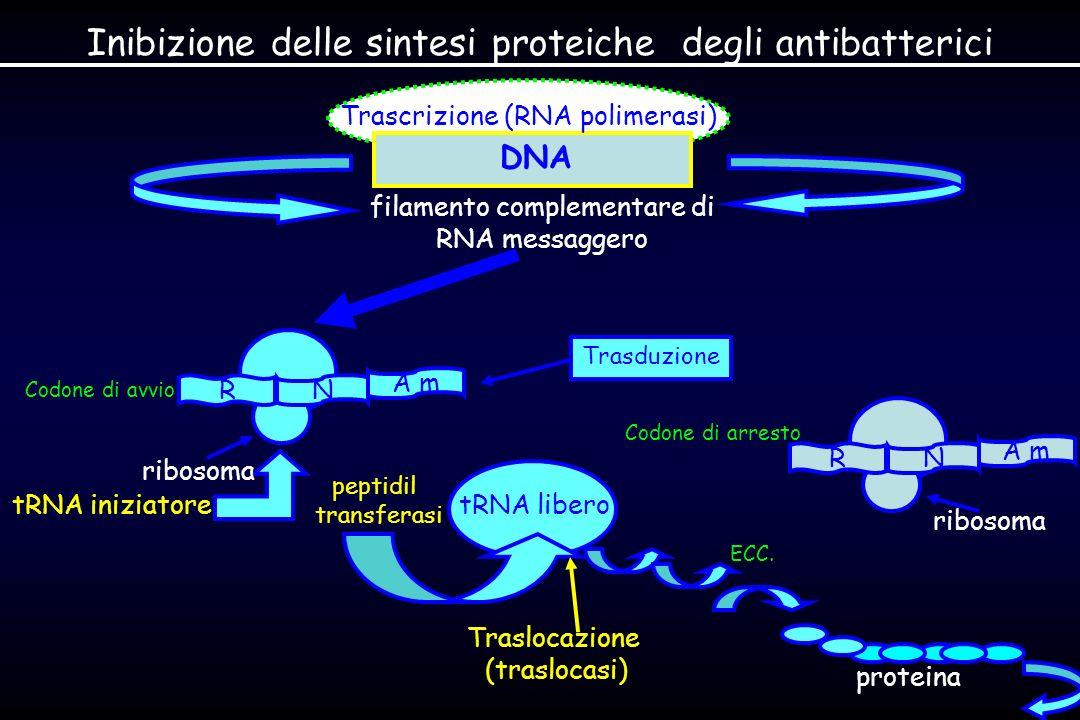 Inibizione delle sintesi proteiche degli antibatterici DNA filamento complementare di RNA messaggero Codone di avvio tRNA iniziatore peptidil transferasi Trascrizione (RNA polimerasi) ribosoma R A m N tRNA libero ECC.