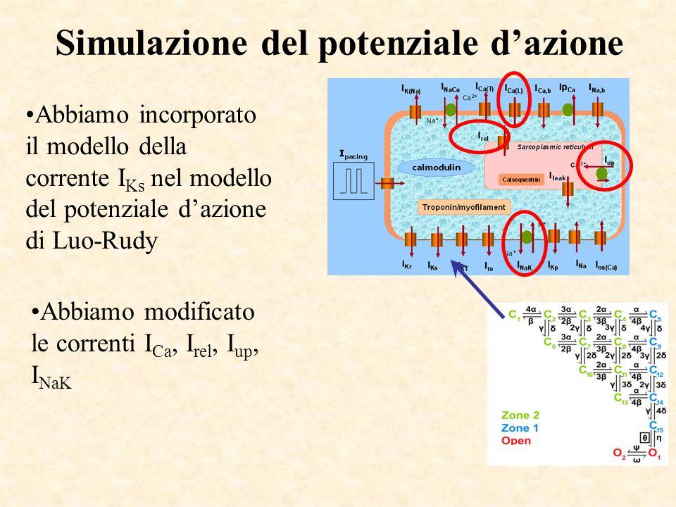 Simulazione del potenziale dazione Abbiamo incorporato il modello della corrente I Ks nel modello del potenziale dazione di Luo-Rudy Abbiamo modificat
