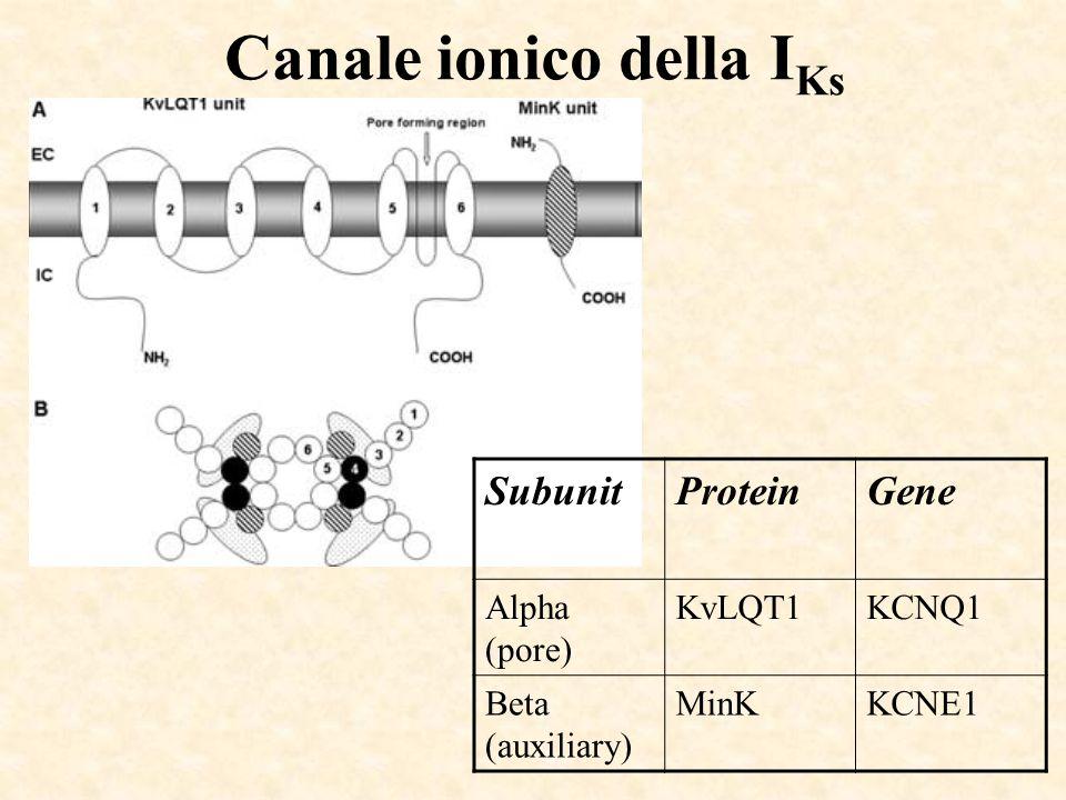 Canale ionico della I Ks SubunitProteinGene Alpha (pore) KvLQT1KCNQ1 Beta (auxiliary) MinKKCNE1