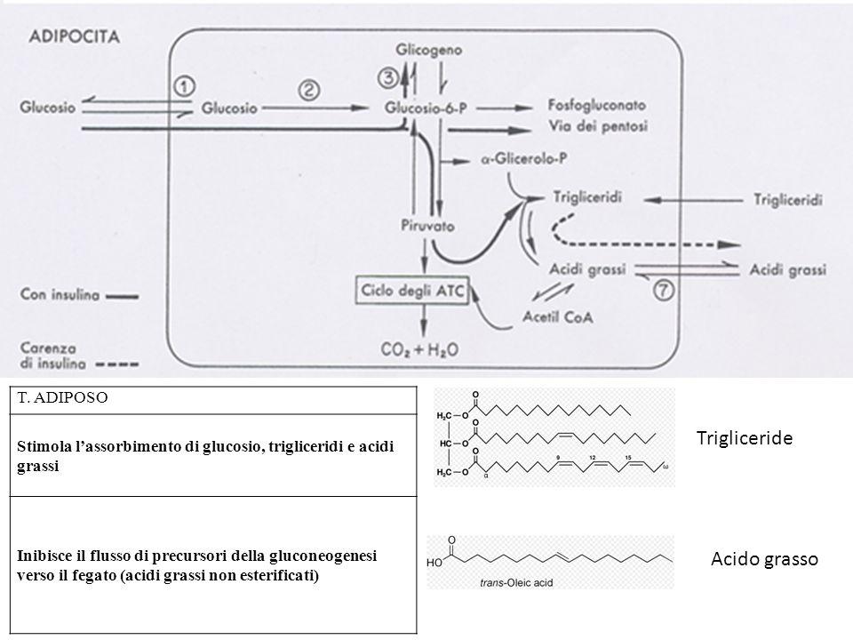 T. ADIPOSO Stimola lassorbimento di glucosio, trigliceridi e acidi grassi Inibisce il flusso di precursori della gluconeogenesi verso il fegato (acidi