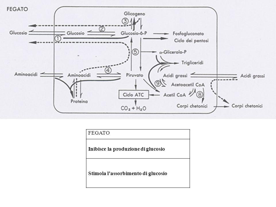 FEGATO Inibisce la produzione di glucosio Stimola lassorbimento di glucosio