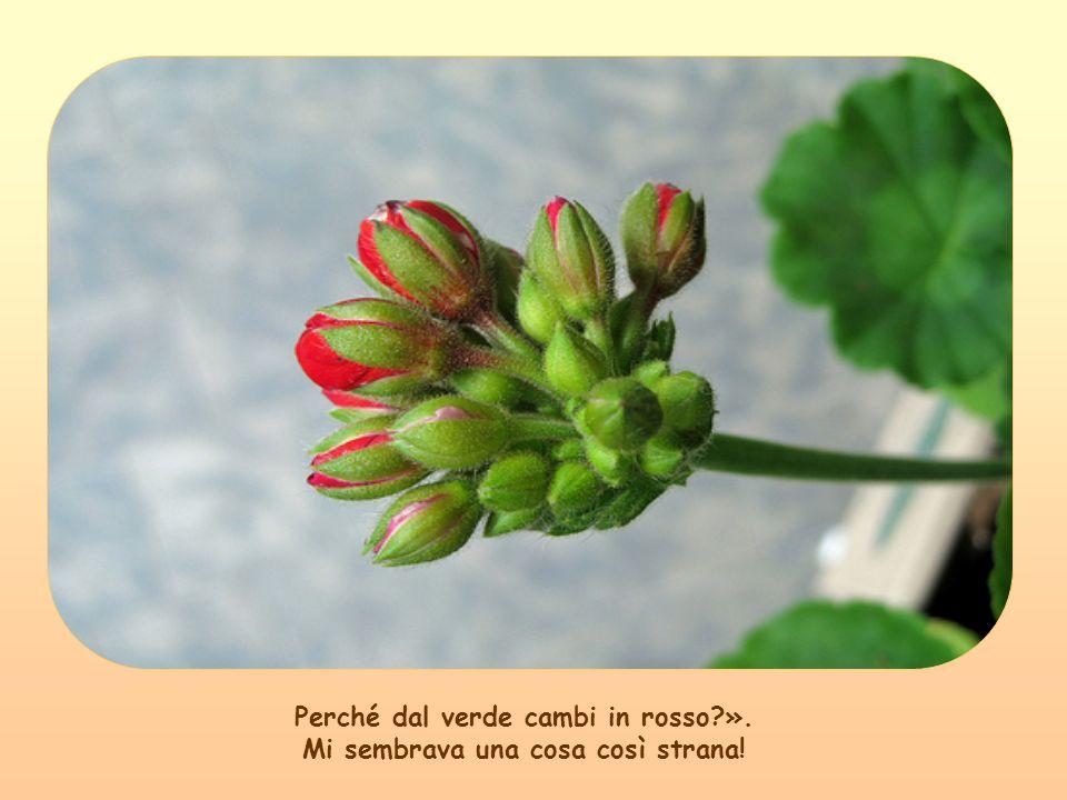 Guardando una piantina di geranio, che sapriva in un fiore rosso, mi domandavo e le domandavo: «Perché fiorisci in rosso