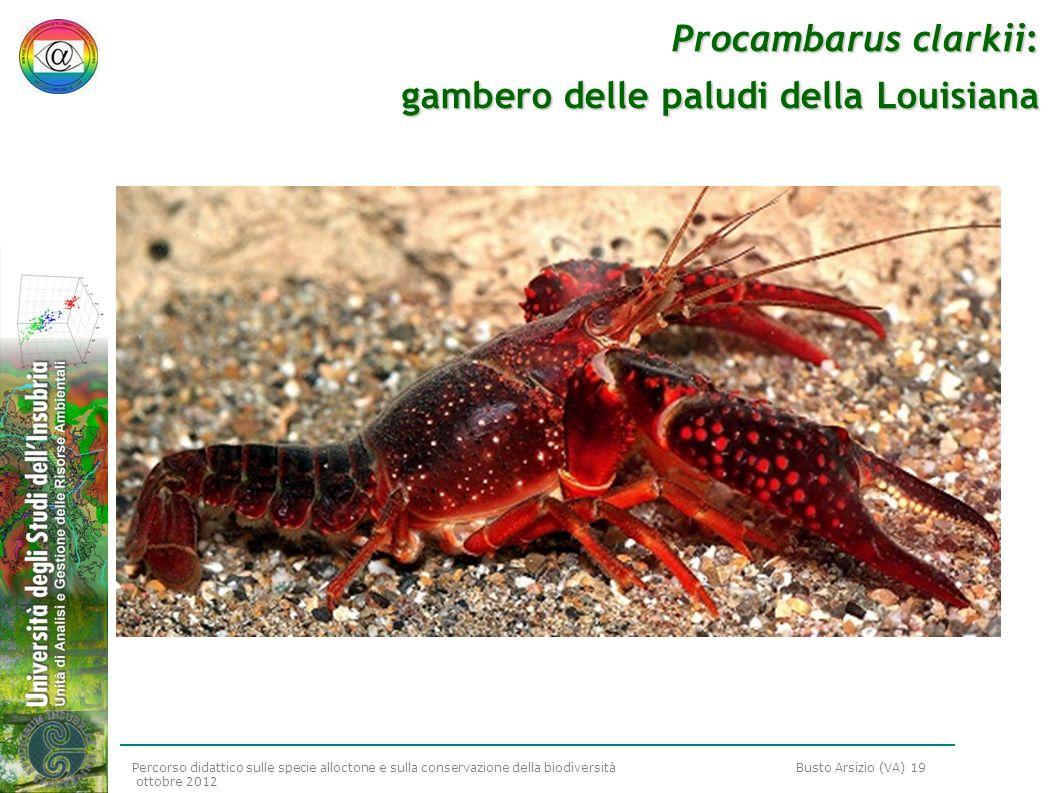 Percorso didattico sulle specie alloctone e sulla conservazione della biodiversità Busto Arsizio (VA) 19 ottobre 2012 Procambarus clarkii: gambero del
