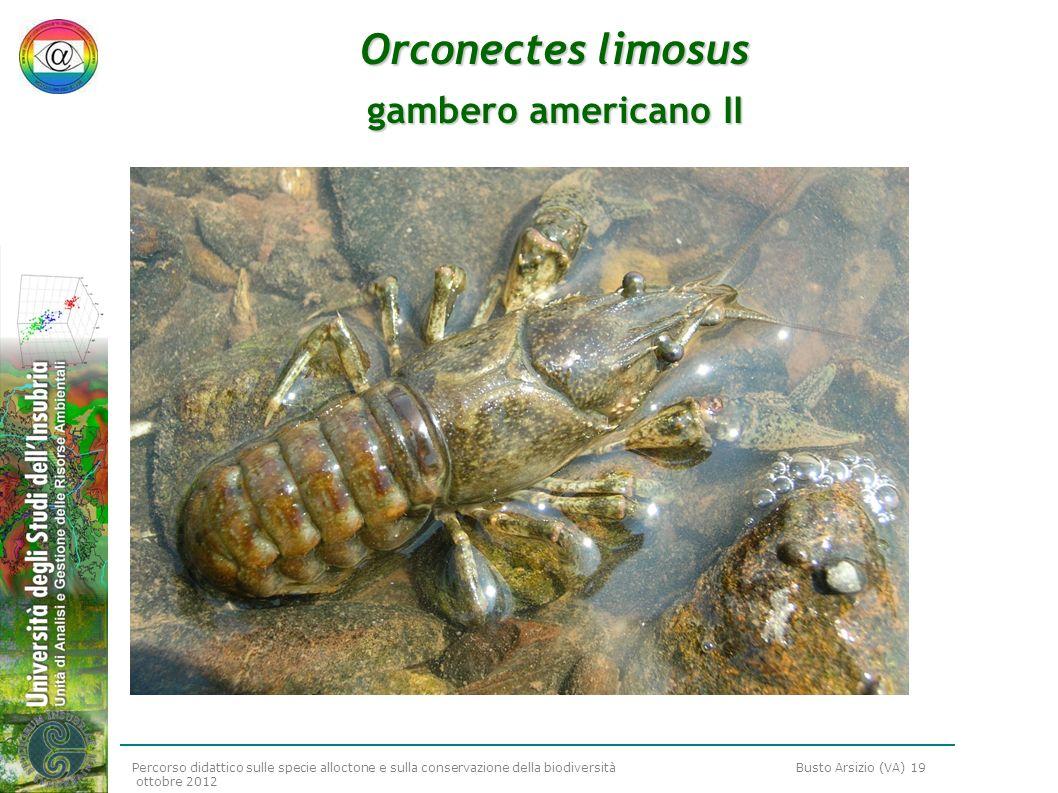Percorso didattico sulle specie alloctone e sulla conservazione della biodiversità Busto Arsizio (VA) 19 ottobre 2012 Orconectes limosus gambero ameri
