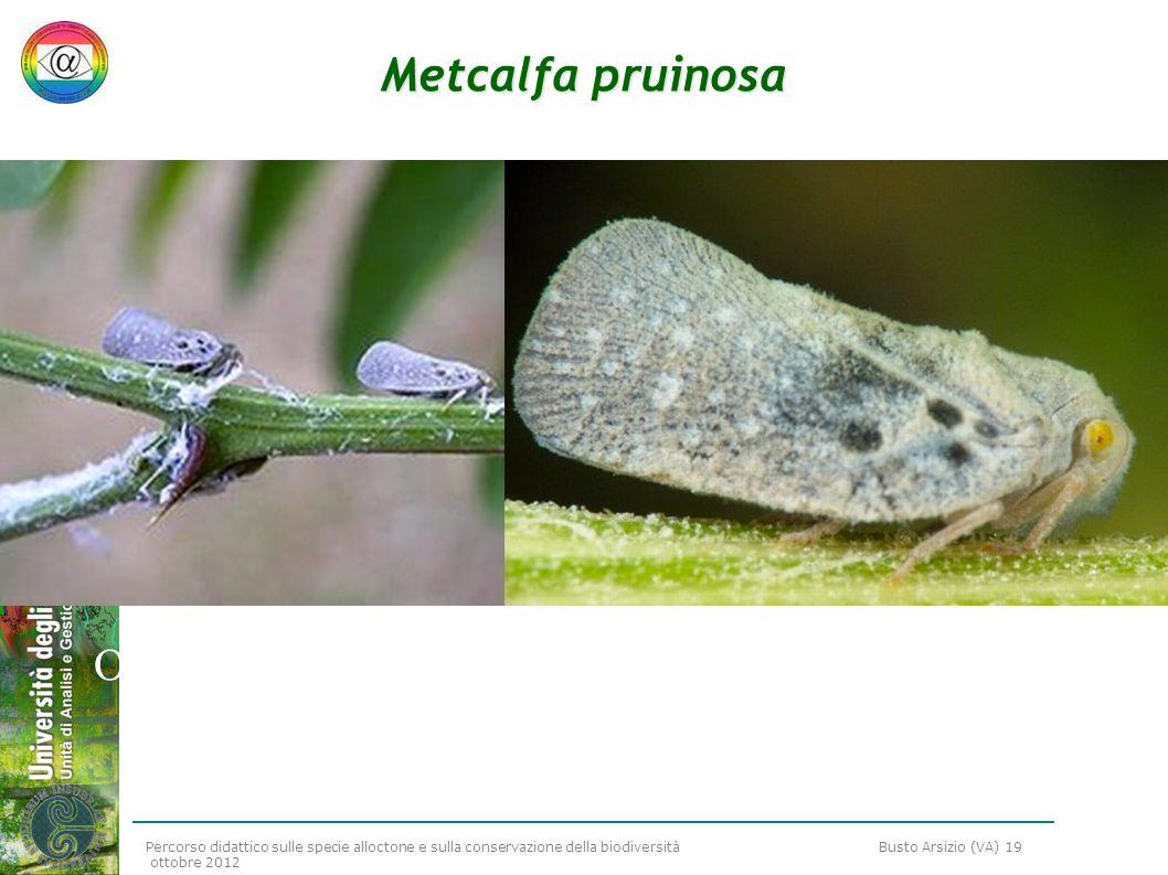 Percorso didattico sulle specie alloctone e sulla conservazione della biodiversità Busto Arsizio (VA) 19 ottobre 2012 Metcalfa pruinosa Omottero (in q