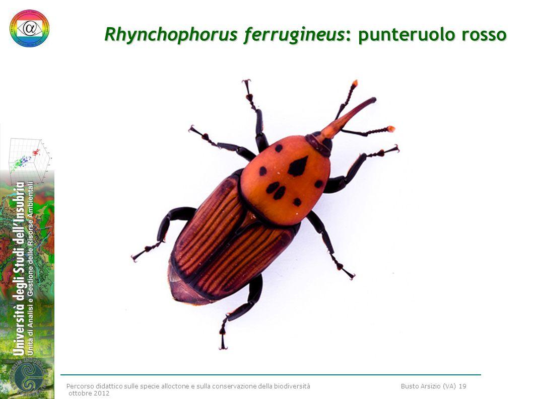 Percorso didattico sulle specie alloctone e sulla conservazione della biodiversità Busto Arsizio (VA) 19 ottobre 2012 Rhynchophorus ferrugineus: punte