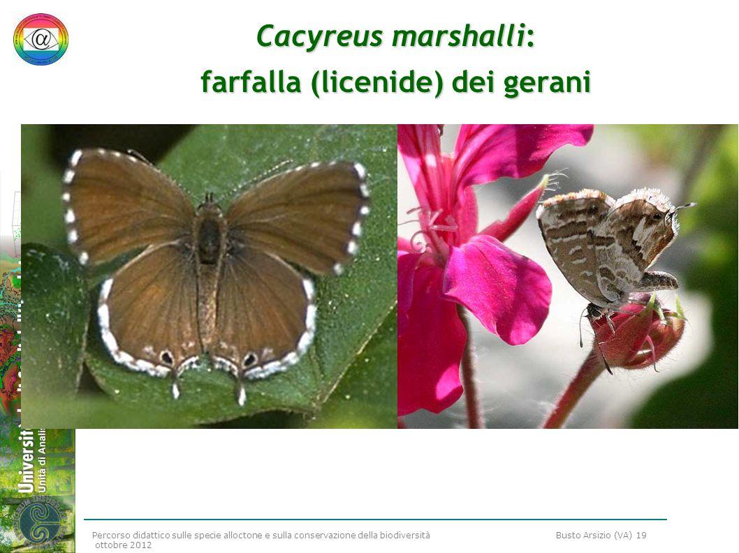 Percorso didattico sulle specie alloctone e sulla conservazione della biodiversità Busto Arsizio (VA) 19 ottobre 2012 Cacyreus marshalli: farfalla (li