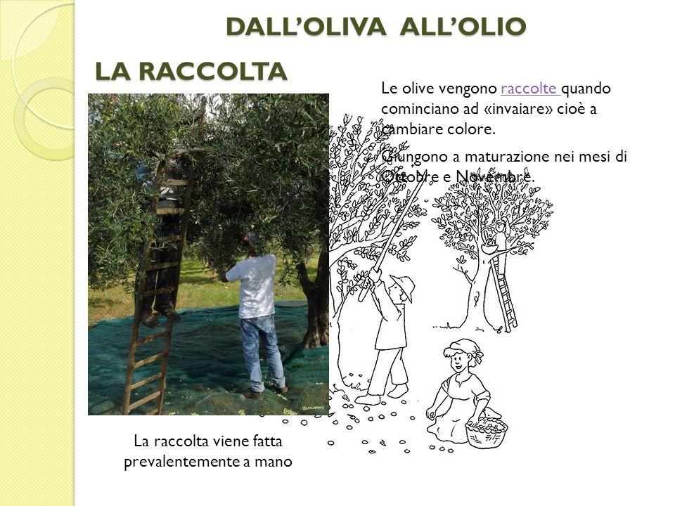 LE DIVERSE VARIETA In Italia, tranne in Piemonte e Val dAosta, ogni regione produce olive diverse, da cui si estraggono Oli differenti.