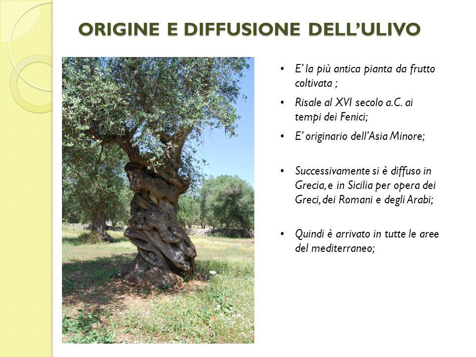 ORIGINE E DIFFUSIONE DELLULIVO E la più antica pianta da frutto coltivata ; Risale al XVI secolo a.C. ai tempi dei Fenici; E originario dellAsia Minor