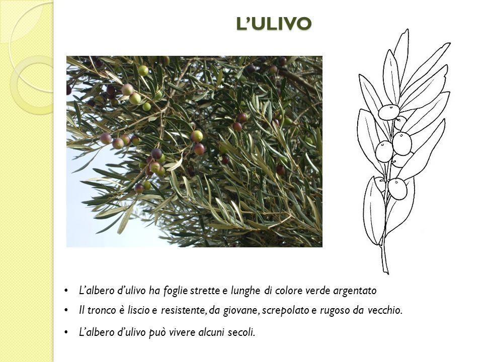 LULIVO Lalbero dulivo ha foglie strette e lunghe di colore verde argentato Il tronco è liscio e resistente, da giovane, screpolato e rugoso da vecchio