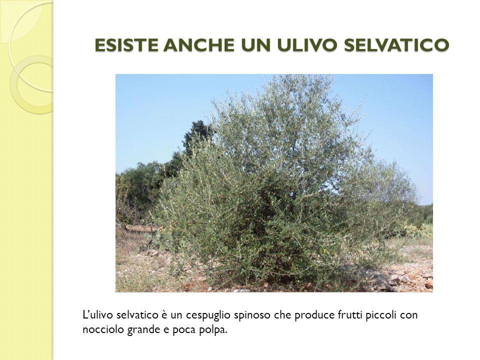 ESISTE ANCHE UN ULIVO SELVATICO Lulivo selvatico è un cespuglio spinoso che produce frutti piccoli con nocciolo grande e poca polpa.