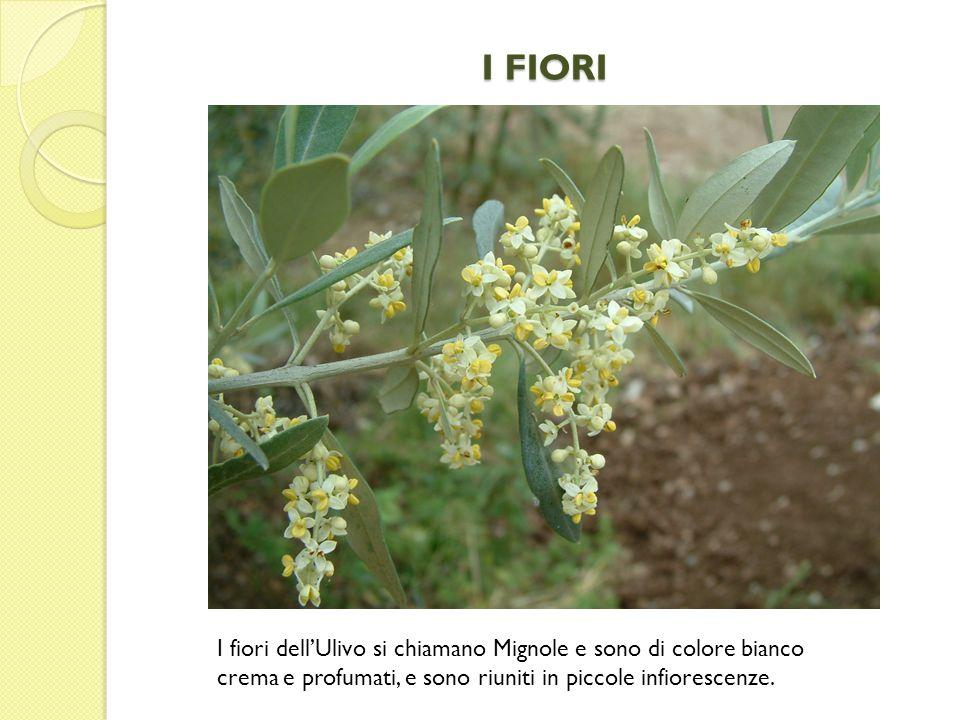 I FIORI I fiori dellUlivo si chiamano Mignole e sono di colore bianco crema e profumati, e sono riuniti in piccole infiorescenze.