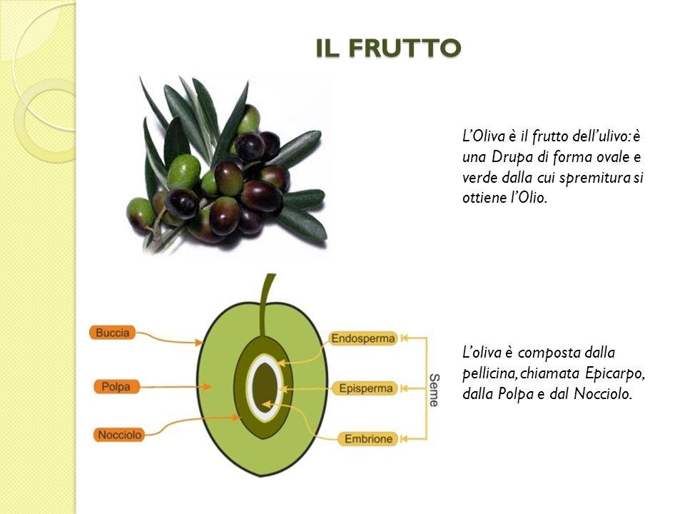 IL FRUTTO LOliva è il frutto dellulivo: è una Drupa di forma ovale e verde dalla cui spremitura si ottiene lOlio. Loliva è composta dalla pellicina, c