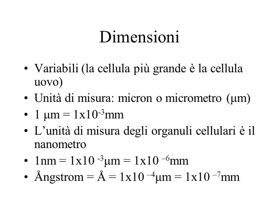 Dimensioni Variabili (la cellula più grande è la cellula uovo) Unità di misura: micron o micrometro (μm) 1 μm = 1x10 -3 mm Lunità di misura degli orga