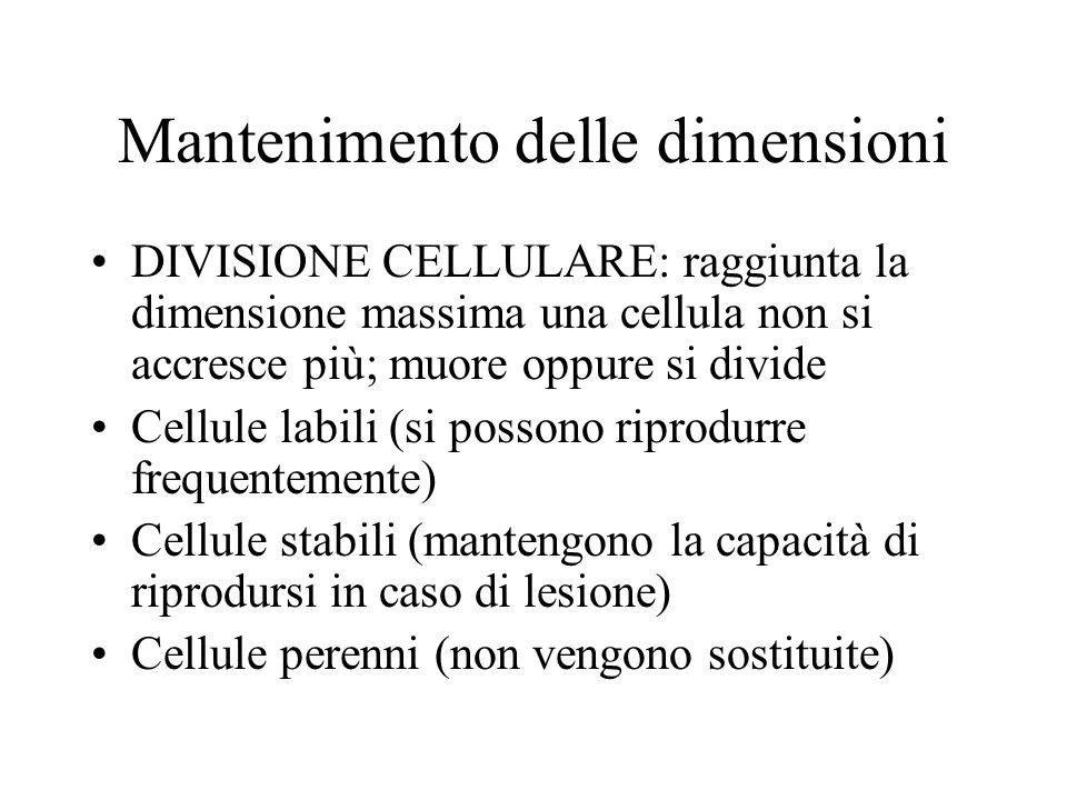 Mantenimento delle dimensioni DIVISIONE CELLULARE: raggiunta la dimensione massima una cellula non si accresce più; muore oppure si divide Cellule lab