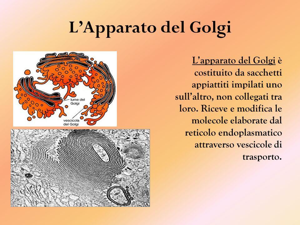 LApparato del Golgi Lapparato del Golgi è costituito da sacchetti appiattiti impilati uno sullaltro, non collegati tra loro.