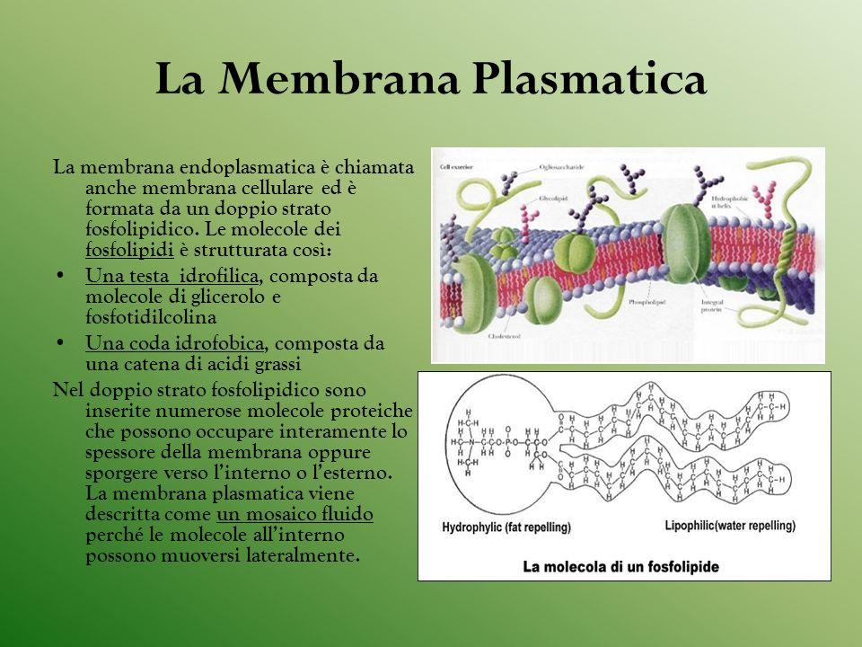 La Membrana Plasmatica La membrana endoplasmatica è chiamata anche membrana cellulare ed è formata da un doppio strato fosfolipidico.