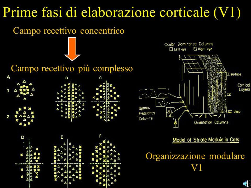 Prime fasi di elaborazione corticale (V1) Campo recettivo concentrico Organizzazione modulare V1 Campo recettivo più complesso