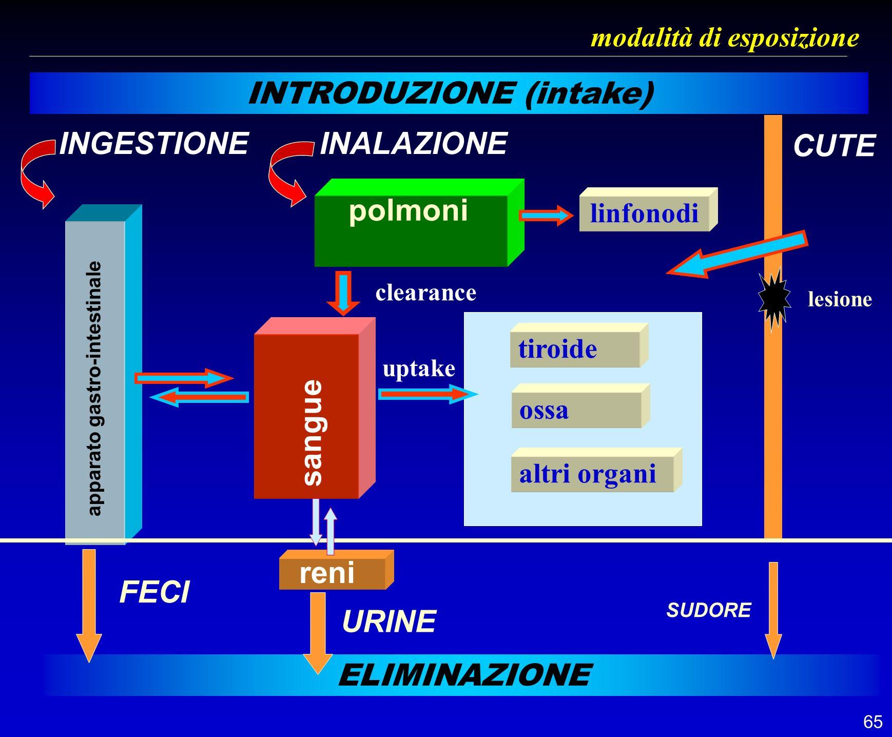 65 modalità di esposizione INTRODUZIONE (intake) INGESTIONEINALAZIONE polmoni apparato gastro-intestinale ELIMINAZIONE sangue clearance linfonodi tiro