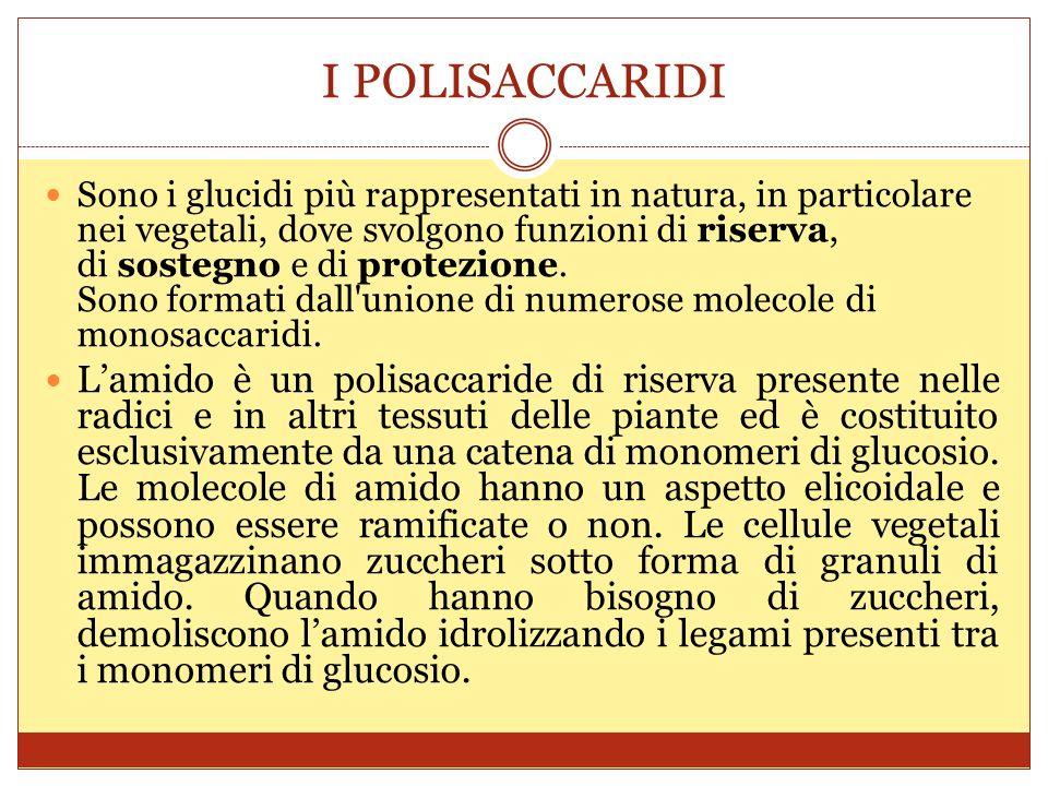 I POLISACCARIDI Sono i glucidi più rappresentati in natura, in particolare nei vegetali, dove svolgono funzioni di riserva, di sostegno e di protezione.