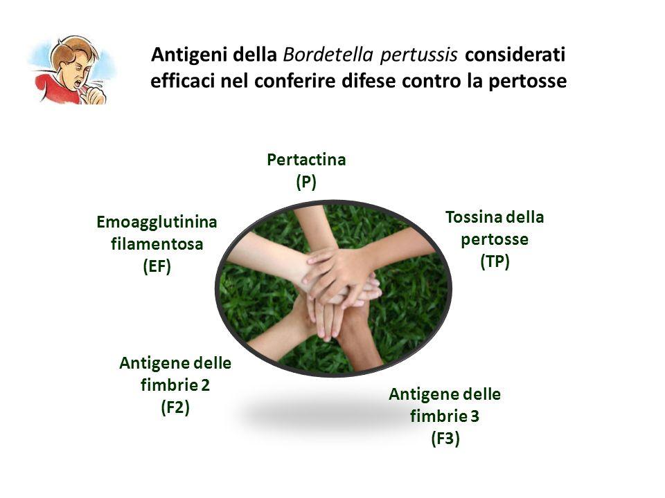 Antigeni della Bordetella pertussis considerati efficaci nel conferire difese contro la pertosse Tossina della pertosse (TP) Emoagglutinina filamentos