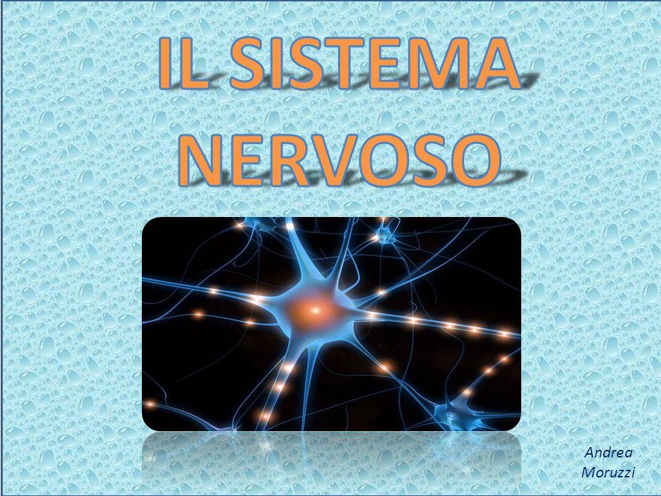 Il sistema nervoso è la nostra «centrale di comando», che regola il funzionamento dellorganismo, comunica con lesterno e recepisce gli stimoli ambientali (bere, mangiare, dormire, …).