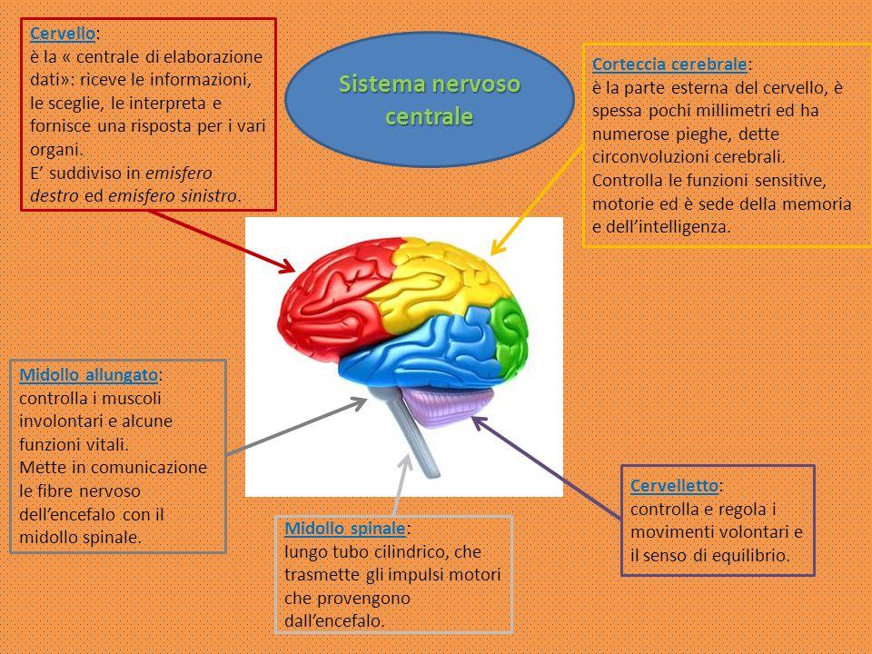 Sistema nervoso periferico nervi Il sistema nervoso periferico è formato da una fitta rete di nervi che si ramificano in tutto il corpo: Sensitivi Sensitivi -> il loro impulso nervoso parte dalla periferia del corpo; Motori Motori -> limpulso arriva ai muscoli e agli organi interni; Cranici Cranici -> raggiungono tutte le parti della testa, del collo, gli organi di senso e altri organi (cuore, polmoni, stomaco, …); Spinali Spinali -> permettono di muovere tutte le parti del corpo.