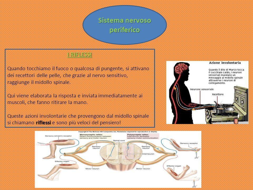 I RIFLESSI Quando tocchiamo il fuoco o qualcosa di pungente, si attivano dei recettori delle pelle, che grazie al nervo sensitivo, raggiunge il midoll