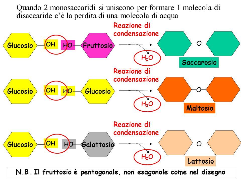 Glucosio OH Fruttosio HO Reazione di condensazione H2OH2O Glucosio OH Glucosio HO Reazione di condensazione H2OH2O Glucosio OH Galattosio HO Reazione di condensazione H2OH2O Saccarosio O Maltosio O Lattosio O Quando 2 monosaccaridi si uniscono per formare 1 molecola di disaccaride cè la perdita di una molecola di acqua N.B.