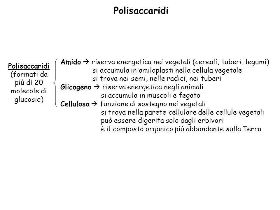 Polisaccaridi (formati da più di 20 molecole di glucosio) Amido riserva energetica nei vegetali (cereali, tuberi, legumi) si accumula in amiloplasti nella cellula vegetale si trova nei semi, nelle radici, nei tuberi Glicogeno riserva energetica negli animali si accumula in muscoli e fegato Cellulosa funzione di sostegno nei vegetali si trova nella parete cellulare delle cellule vegetali può essere digerita solo dagli erbivori è il composto organico più abbondante sulla Terra Polisaccaridi