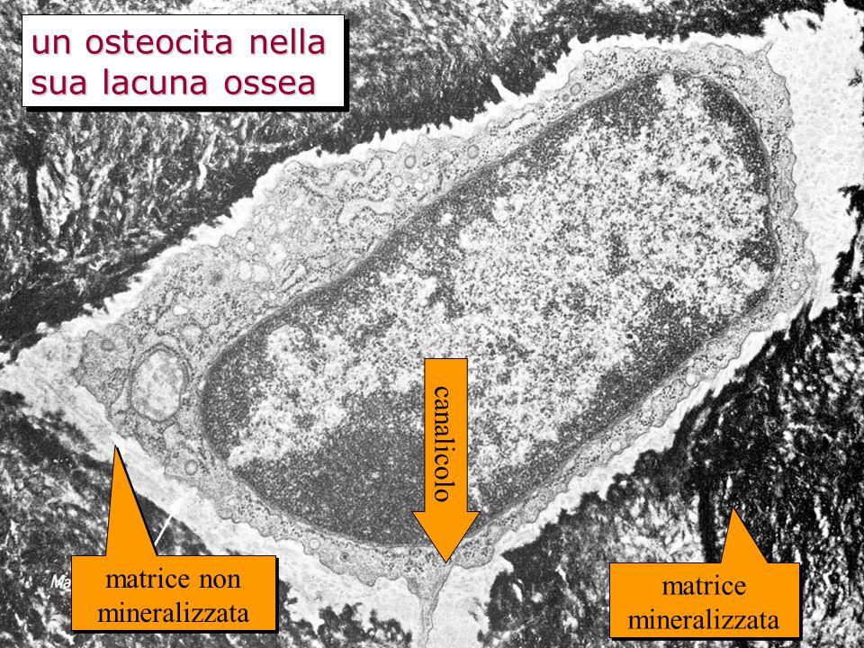 un osteocita nella sua lacuna ossea matrice non mineralizzata matrice mineralizzata canalicolo