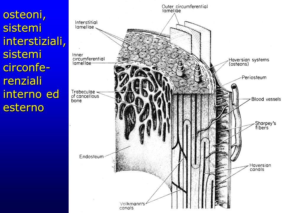 osteoni, sistemi interstiziali, sistemi circonfe- renziali interno ed esterno