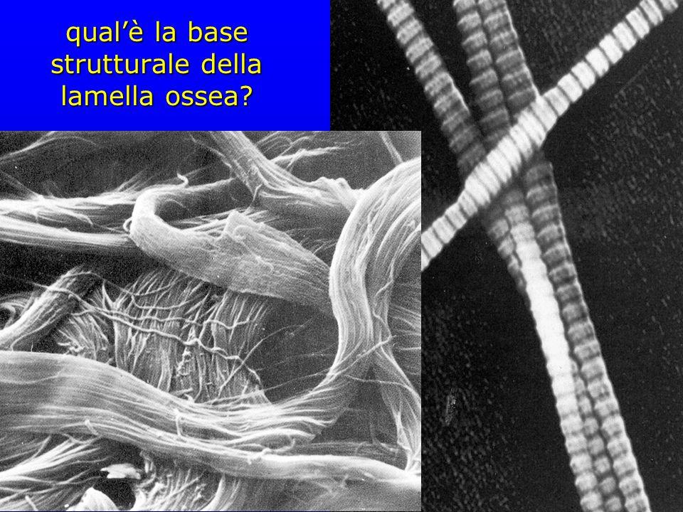 qualè la base strutturale della lamella ossea?
