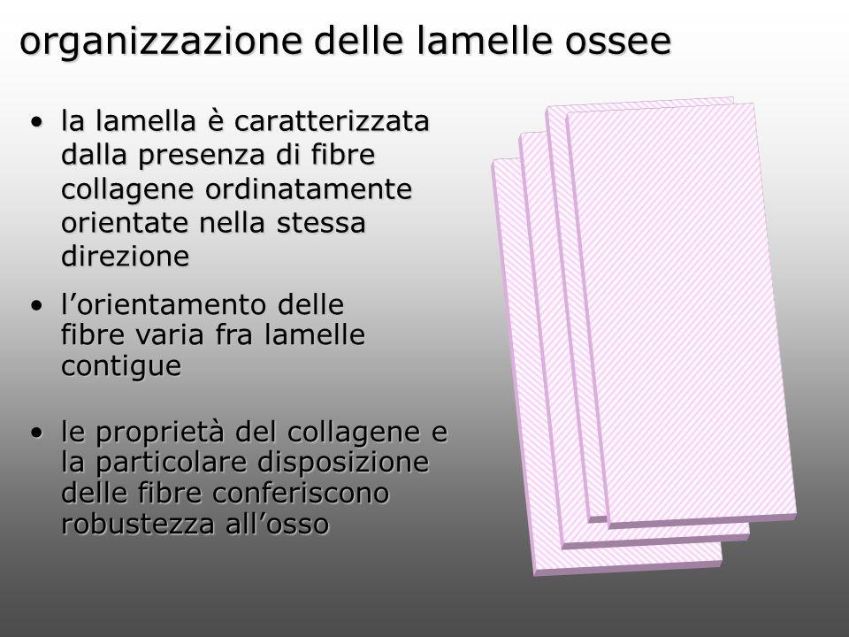 organizzazione delle lamelle ossee la lamella è caratterizzata dalla presenza di fibre collagene ordinatamente orientate nella stessa direzionela lame
