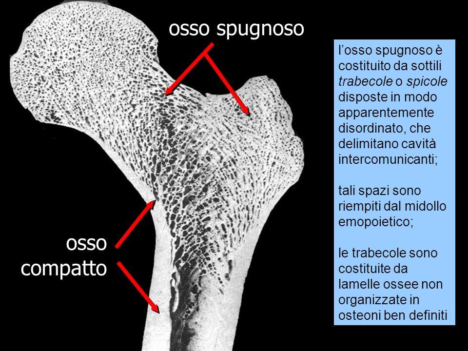 osso compatto osso spugnoso losso spugnoso è costituito da sottili trabecole o spicole disposte in modo apparentemente disordinato, che delimitano cav