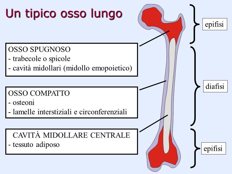 Un tipico osso lungo OSSO SPUGNOSO - trabecole o spicole - cavità midollari (midollo emopoietico) OSSO COMPATTO - osteoni - lamelle interstiziali e ci