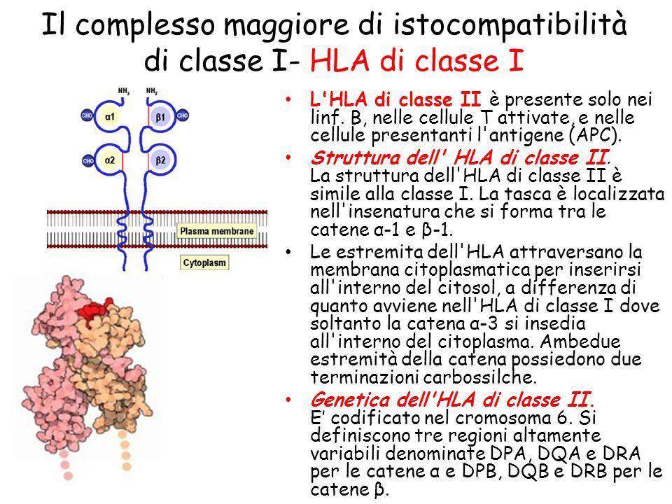 L'HLA di classe II è presente solo nei linf. B, nelle cellule T attivate, e nelle cellule presentanti l'antigene (APC). Struttura dell' HLA di classe