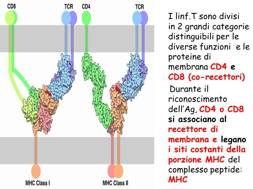 I linf.T sono divisi in 2 grandi categorie distinguibili per le diverse funzioni e le proteine di membrana CD4 e CD8 (co-recettori) Durante il riconos