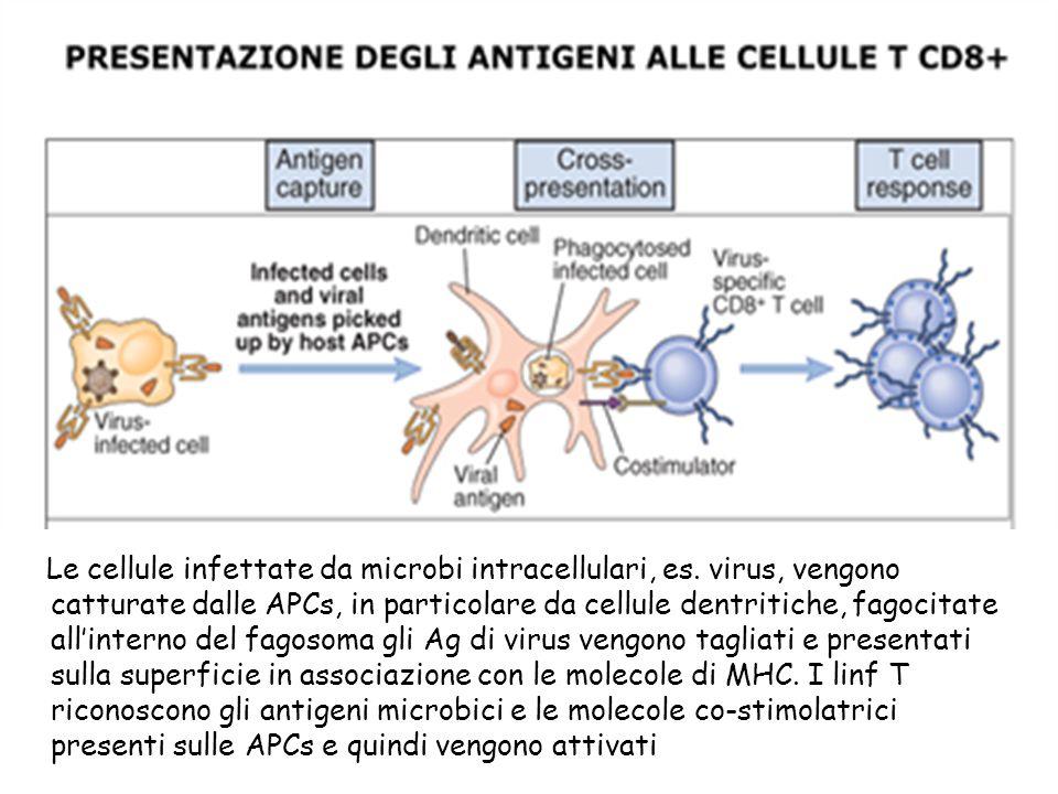 Le cellule infettate da microbi intracellulari, es. virus, vengono catturate dalle APCs, in particolare da cellule dentritiche, fagocitate allinterno