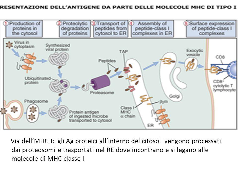 Via dellMHC I: gli Ag proteici allinterno del citosol vengono processati dai proteosomi e trasportati nel RE dove incontrano e si legano alle molecole