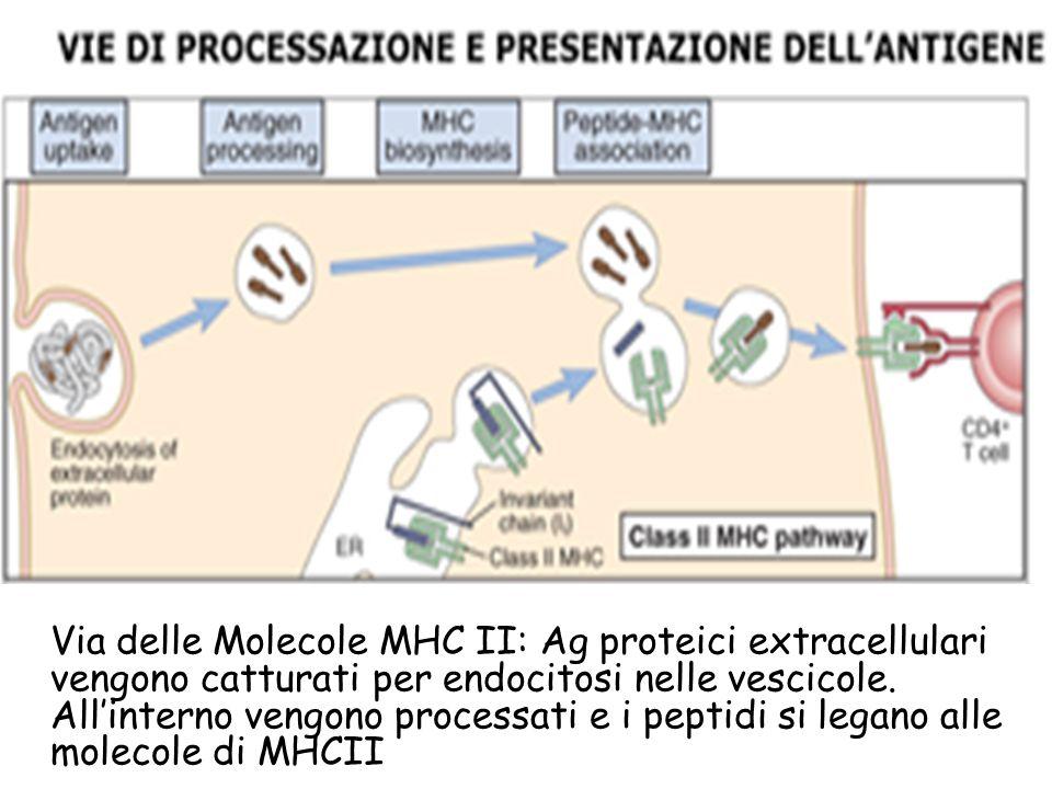 Via delle Molecole MHC II: Ag proteici extracellulari vengono catturati per endocitosi nelle vescicole. Allinterno vengono processati e i peptidi si l