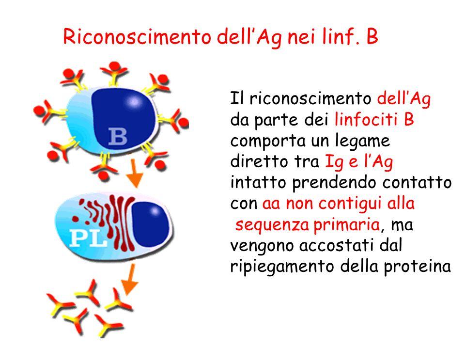 Il riconoscimento dellAg da parte dei linfociti B comporta un legame diretto tra Ig e lAg intatto prendendo contatto con aa non contigui alla sequenza