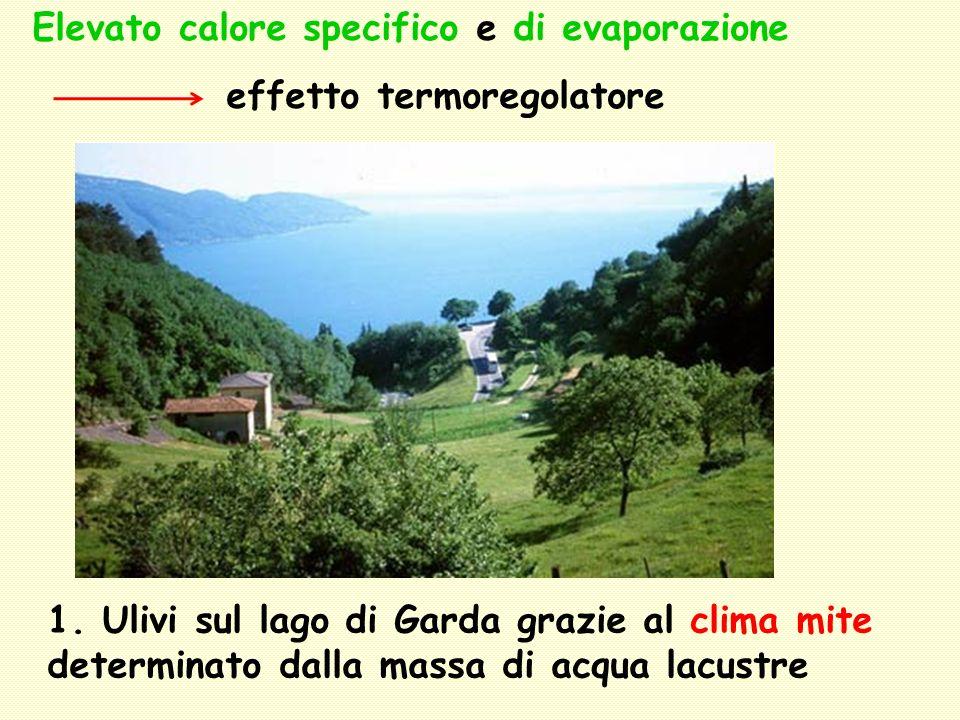 Elevato calore specifico e di evaporazione effetto termoregolatore 1. Ulivi sul lago di Garda grazie al clima mite determinato dalla massa di acqua la