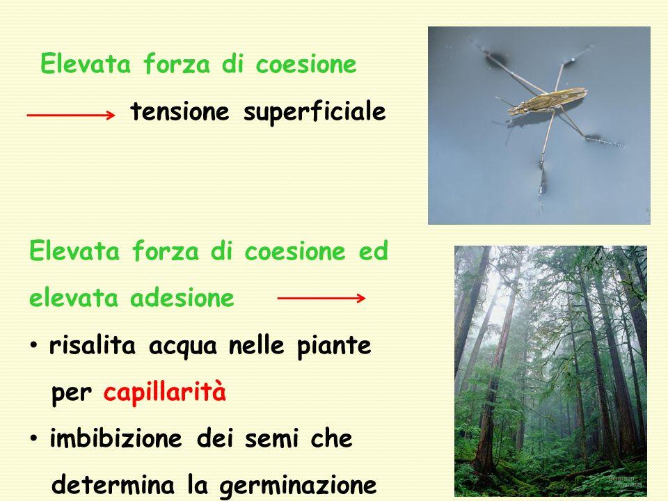Elevata forza di coesione tensione superficiale Elevata forza di coesione ed elevata adesione risalita acqua nelle piante per capillarità imbibizione