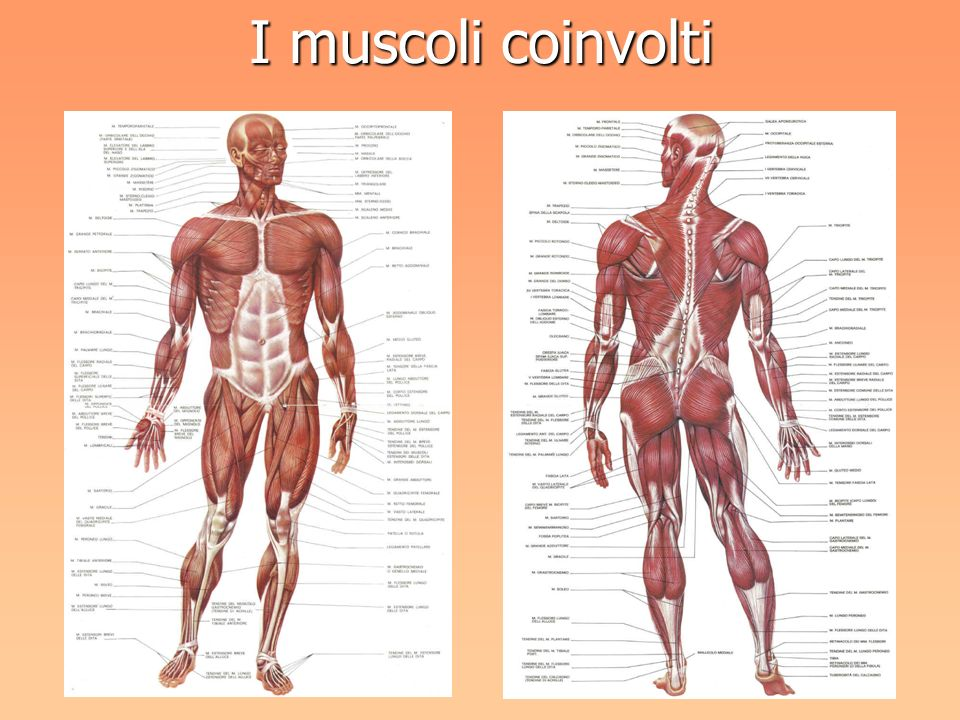 I muscoli coinvolti