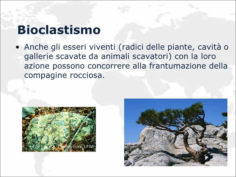 Bioclastismo Anche gli esseri viventi (radici delle piante, cavità o gallerie scavate da animali scavatori) con la loro azione possono concorrere alla