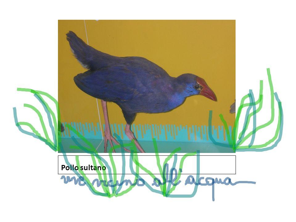 Pollo sultano