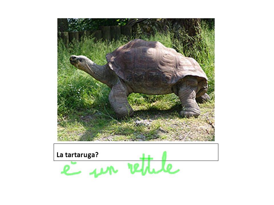 La tartaruga?
